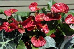 Anthurium τα λουλούδια στις διακοπές λουλουδιών στη χειμερινή λεωφόρο σταθμεύουν στην πόλη του Μπακού Στοκ εικόνες με δικαίωμα ελεύθερης χρήσης