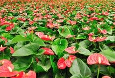 Anthurium φυτά Στοκ Φωτογραφία