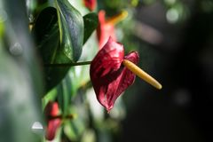 Anthurium φυτό andraenum με το κόκκινο φύλλο και τον κίτρινο οφθαλμό Στοκ φωτογραφίες με δικαίωμα ελεύθερης χρήσης