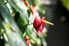 Anthurium φυτό andraenum με το κόκκινο φύλλο και τον κίτρινο οφθαλμό Στοκ Φωτογραφίες