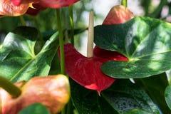 Anthurium φυτό andraenum με το κόκκινο φύλλο και τον κίτρινο οφθαλμό Στοκ Εικόνες