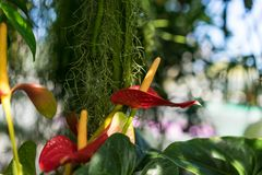Anthurium φυτό andraenum με το κόκκινο φύλλο και τον κίτρινο οφθαλμό Στοκ εικόνες με δικαίωμα ελεύθερης χρήσης