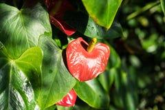 Anthurium φυτό andraenum με το κόκκινο φύλλο και τον κίτρινο οφθαλμό Στοκ φωτογραφία με δικαίωμα ελεύθερης χρήσης