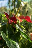 Anthurium φυτό andraenum με το κόκκινο φύλλο και τον κίτρινο οφθαλμό Στοκ Φωτογραφία