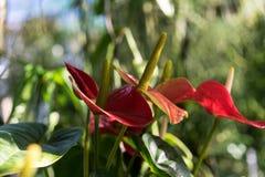 Anthurium φυτό andraenum με το κόκκινο φύλλο και τον κίτρινο οφθαλμό Στοκ εικόνα με δικαίωμα ελεύθερης χρήσης