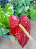 Anthurium φύσης λουλούδι της Σρι Λάνκα Στοκ Εικόνες