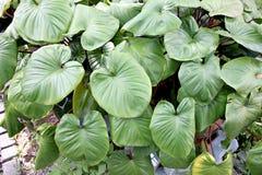 Anthurium φύλλα andraeanum. Στοκ φωτογραφίες με δικαίωμα ελεύθερης χρήσης