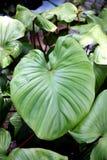 Anthurium φύλλα andraeanum. Στοκ Εικόνες