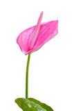 Anthurium, φλαμίγκο ή αγοριών λουλούδι που απομονώνεται στο άσπρο υπόβαθρο Στοκ φωτογραφία με δικαίωμα ελεύθερης χρήσης