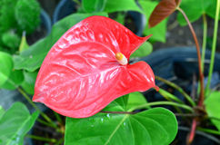 Anthurium/φλαμίγκο λουλούδια στον κήπο Στοκ Φωτογραφίες