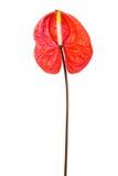 anthurium όμορφο κόκκινο Στοκ Φωτογραφίες