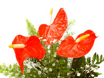 Anthurium 02 Royalty Free Stock Images