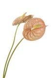 Anthurium Στοκ Φωτογραφίες