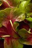 Anthurium. Mixed Obake Anthurium from a grower in Hawaii Stock Photo
