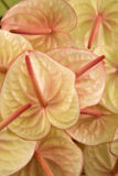 anthurium fotografia royalty free