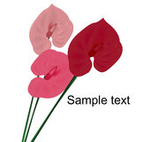Anthurium Royalty Free Stock Photos