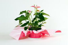 anthurium Fotografia Stock
