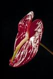 Anthurium Στοκ Φωτογραφία