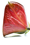 Anthurium. Stock Images