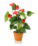 Anthurium. Whole plant anthurium in a pot on a white background Royalty Free Stock Image