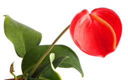 Anthurium. Flowers - Anthurium on white background Royalty Free Stock Photo