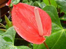 Anthurium. This tropical flower is evocative of Hawaii Stock Images