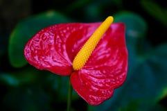 Anthurium Stock Foto's
