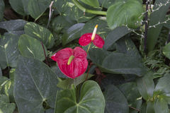 Anthurium Royalty Free Stock Photography
