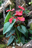 Anthurium Royaltyfria Foton