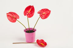 Anthurium Stock Foto