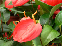 anthurium Royaltyfri Foto