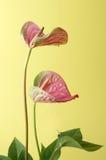 Anthurium Στοκ φωτογραφία με δικαίωμα ελεύθερης χρήσης