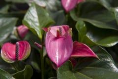Anthurium Στοκ Εικόνες
