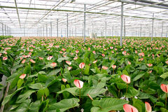 Anthurium. Glasshouse anthurium in Poland Stock Photography