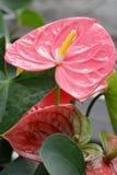 Anthurium Royaltyfria Bilder