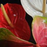 Anthurium Στοκ εικόνα με δικαίωμα ελεύθερης χρήσης