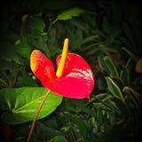 Anthurium andraeanum - κόκκινο λουλούδι με το κίτρινο spadix Στοκ Εικόνα