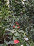 Anthurium andraeanum σε ένα θερμοκήπιο Στοκ Φωτογραφία