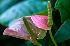 Anthurium andraeanum Στοκ φωτογραφία με δικαίωμα ελεύθερης χρήσης