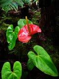 Anthurium Andraeanum Στοκ Εικόνες