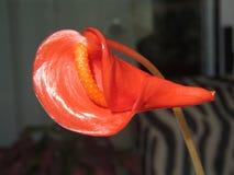 Anthurium Andraeanum Στοκ εικόνες με δικαίωμα ελεύθερης χρήσης