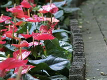 Anthurium Andraeanum (Flamingo Flower). Hong Kong - July 2016 Anthurium Andraeanum (also known as the Flamingo flower) growing next to a path in the Hong Kong royalty free stock photography
