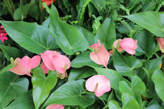 The Anthurium andraeanum. At garden Stock Photos