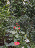Anthurium andraeanum in a greenhouse Stock Photography