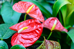 Anthurium andraeanum. Heart-shaped leaves oblong or oval , dark green. Buddha carry flame bracts erect , leathery, being rounded oval, orange or scarlet Royalty Free Stock Images