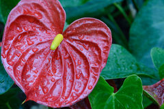 Anthurium andraeanum. Heart-shaped leaves oblong or oval , dark green. Buddha carry flame bracts erect , leathery, being rounded oval, orange or scarlet Stock Photography