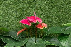 Red Flamingo flowers. Anthurium andraeanum Linden, a flowering plants in the Araceae family. It is commonly called tailflower Stock Image