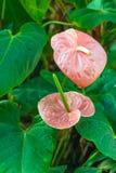 Anthurium andraeanum Stock Photography
