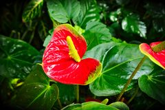 Anthurium andraeanum - red flower with yellow spadix. Anthurium andraeanum - beautiful red flower with yellow spadix Royalty Free Stock Image