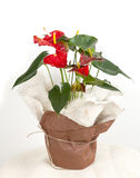 Anthurium Andraeanum Royalty Free Stock Images